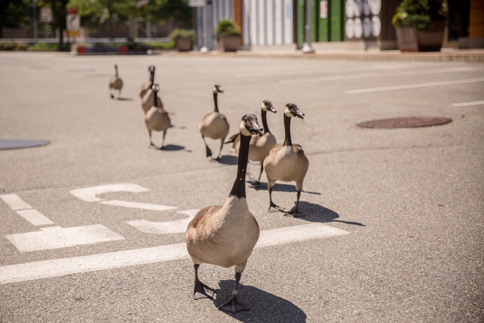 Geese in the Street